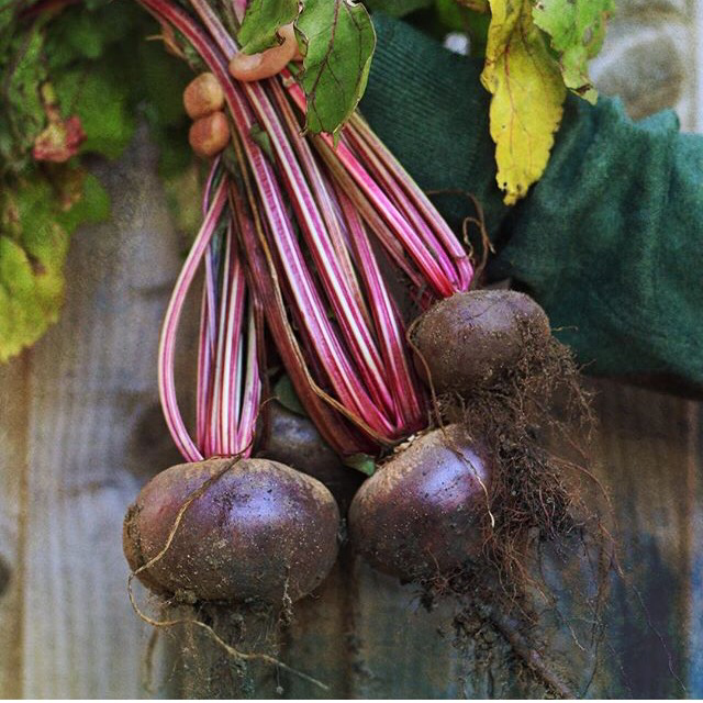 first beetroot crop of the season